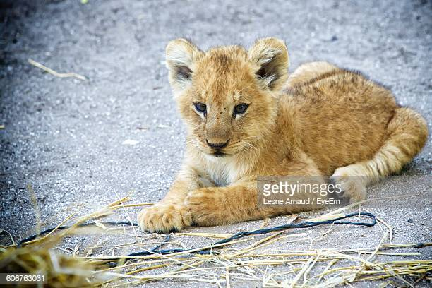 Close-Up Of Lion Cub Sitting On Field At Zoo