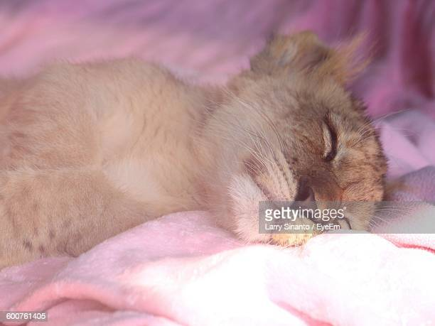 Close-Up Of Lion Cub Sleeping On Blanket At Zoo