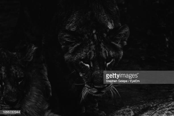 close-up of lion in forest at night - dark panthera stock pictures, royalty-free photos & images