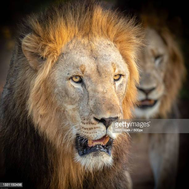 close-up of lion looking away - afrika afrika stock pictures, royalty-free photos & images