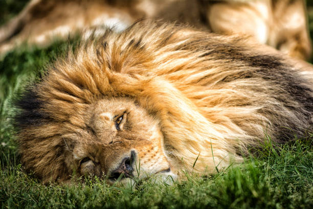 Close-Up Of Lion Lying On Grass