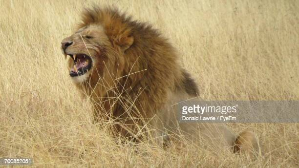 Close-Up Of Lion On Sand