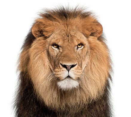 Close-up of lion, Panthera leo, 8 years old, in front of white background 944272094