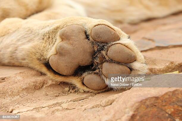 Close-Up Of Lion Paw On Rock