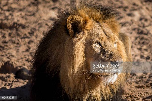 close-up of lion - chester zoo stock pictures, royalty-free photos & images