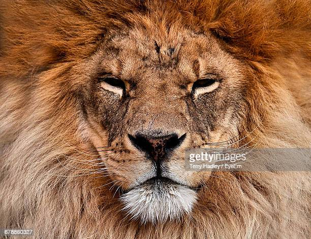 close-up of lion - whisker stock pictures, royalty-free photos & images
