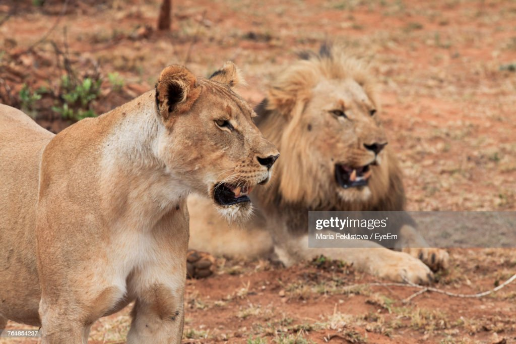 Close-Up Of Lion : Stock Photo