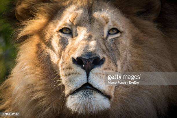 close-up of lion - animal nose stock pictures, royalty-free photos & images