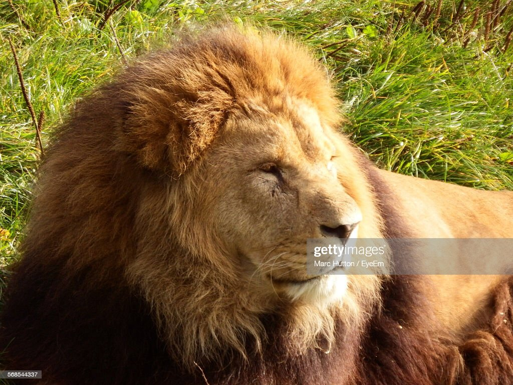 Close-Up Of Lion Resting On Grassy Field In Forest : Stock Photo