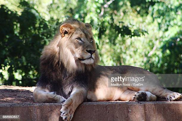 Close-Up Of Lion Resting On Retaining Wall