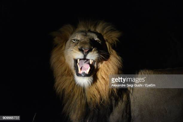 close-up of lion roaring against black background - lion roar stock pictures, royalty-free photos & images