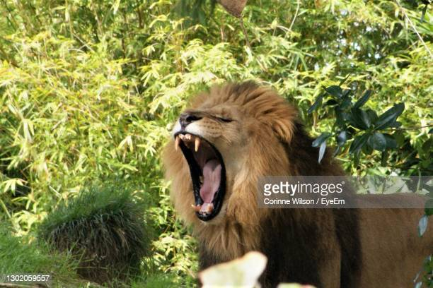 close-up of lion roaring by grass - hamilton new zealand stock pictures, royalty-free photos & images