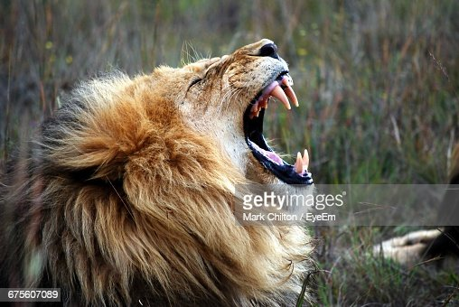 2 310 Lion Roar Photos And Premium High Res Pictures Getty Images