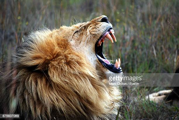 close-up of lion roaring on field at rhino and lion nature reserve - lion stockfoto's en -beelden