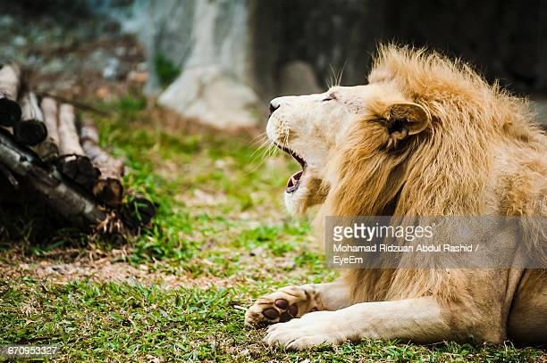Close-Up Of Lion Roaring On Field