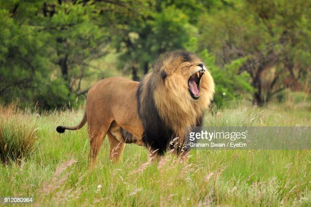 close-up of lion roaring while standing on grass field - lion roar stock pictures, royalty-free photos & images