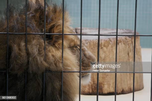 close-up of lion sleeping in cage - animales en cautiverio fotografías e imágenes de stock