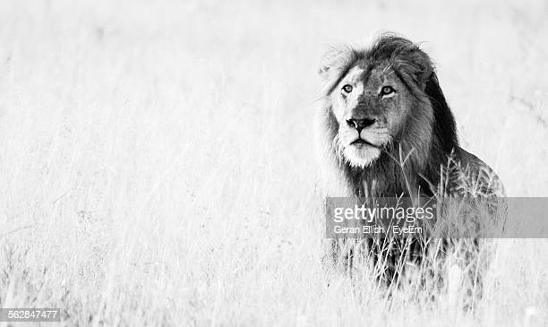 Close-Up Of Lion Standing In Forest