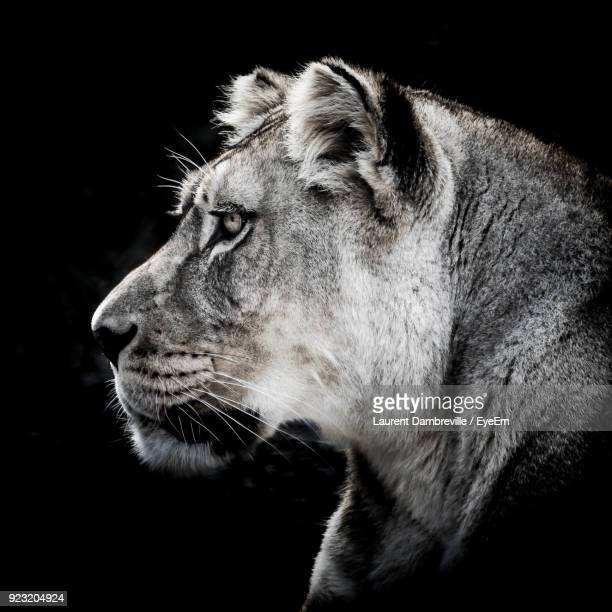 Close-Up Of Lioness Against Black Background