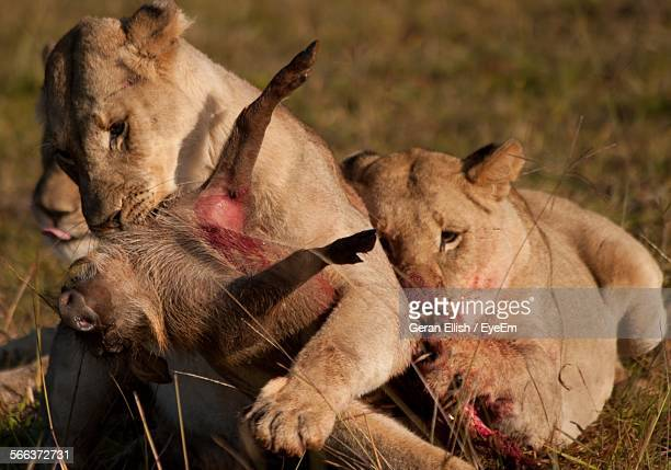 close-up of lioness hunting - lion attack stock pictures, royalty-free photos & images