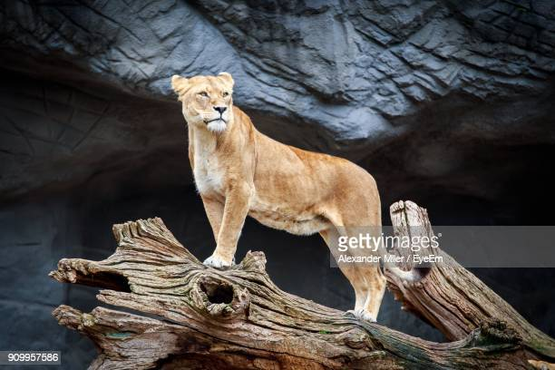 Close-Up Of Lioness On Dead Tree