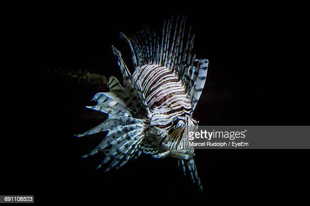 Close-Up Of Lionfish Against Black Background