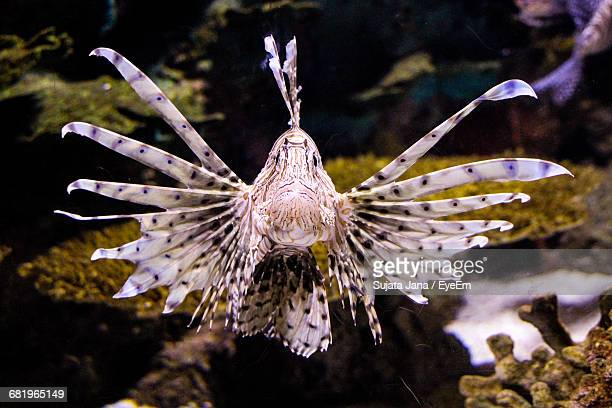 Close-Up Of Lionfish In Fish Tank