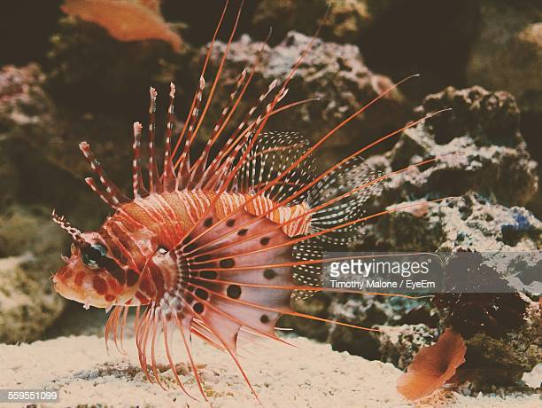 Close-Up Of Lionfish In Sea