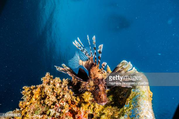close-up of lionfish swimming by coral in sea - eilat stock pictures, royalty-free photos & images