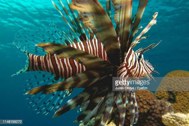 close-up of lionfish swimming in sea - animal markings stock pictures, royalty-free photos & images