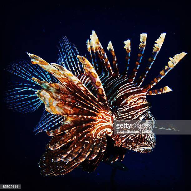 Close-Up Of Lionfish Swimming In Sea