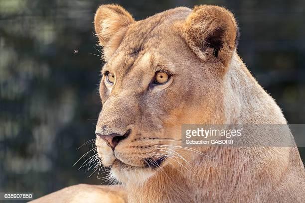 Close-Up Of Lionnes