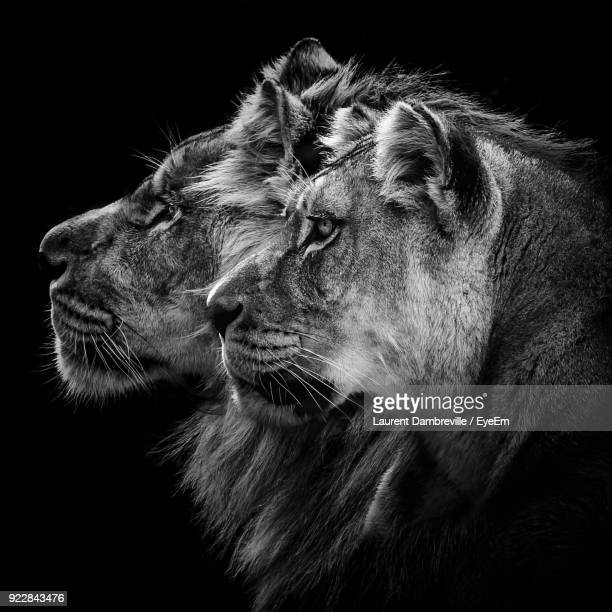close-up of lions against black background - carnivora stock photos and pictures