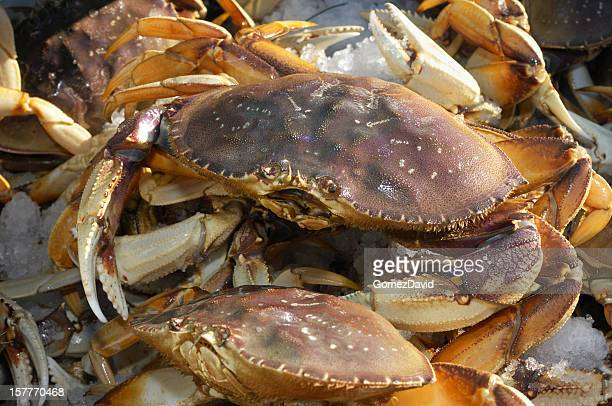 Close-up of Live Dungeness Crabs Ready for Market
