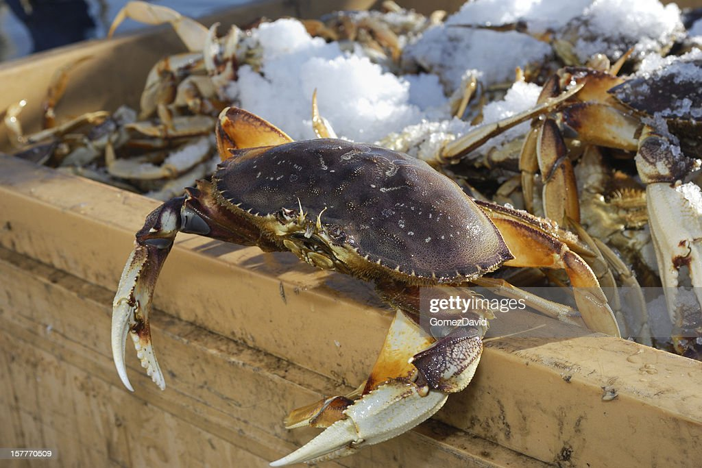 Close-up of Live Dungeness Crabs Ready for Market : Stock Photo