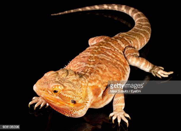 close-up of lizard against black background - bearded dragon stock photos and pictures