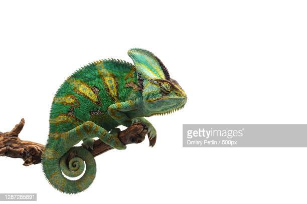 close-up of lizard against white background - animal stock pictures, royalty-free photos & images