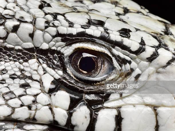 Closeup of lizard eye
