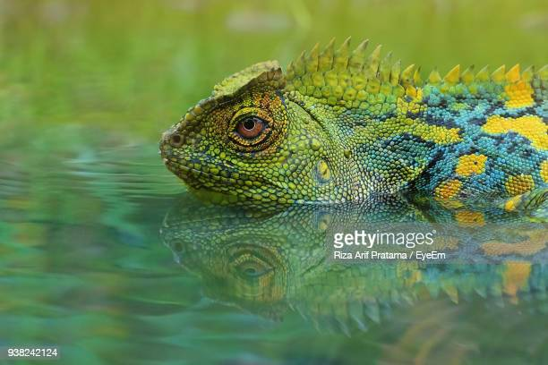 close-up of lizard in lake - land iguana imagens e fotografias de stock