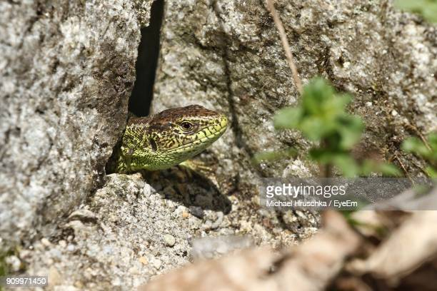 close-up of lizard in - michael hruschka stock pictures, royalty-free photos & images
