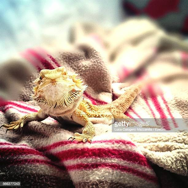 Close-Up Of Lizard On Bed