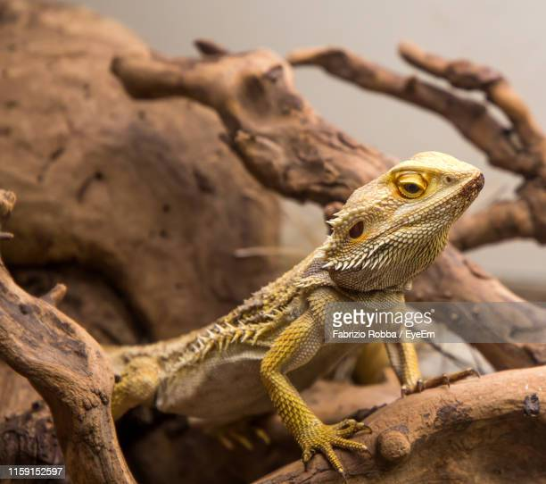 close-up of lizard on branch - rettile foto e immagini stock