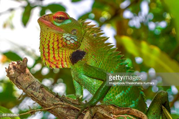 close-up of lizard on branch - imagebook stock pictures, royalty-free photos & images