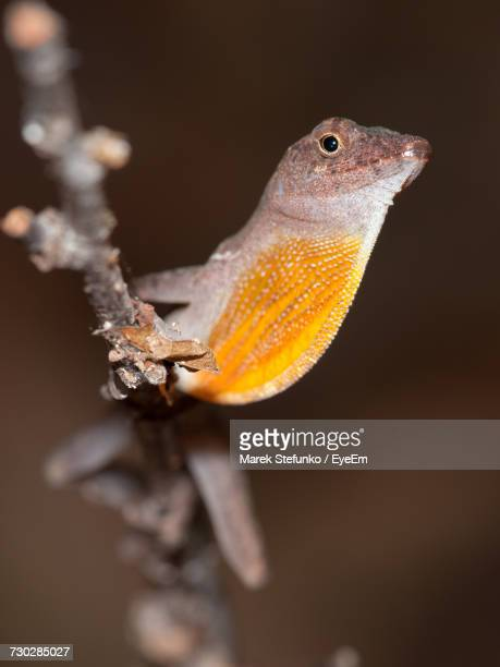 close-up of lizard on branch - marek stefunko - fotografias e filmes do acervo