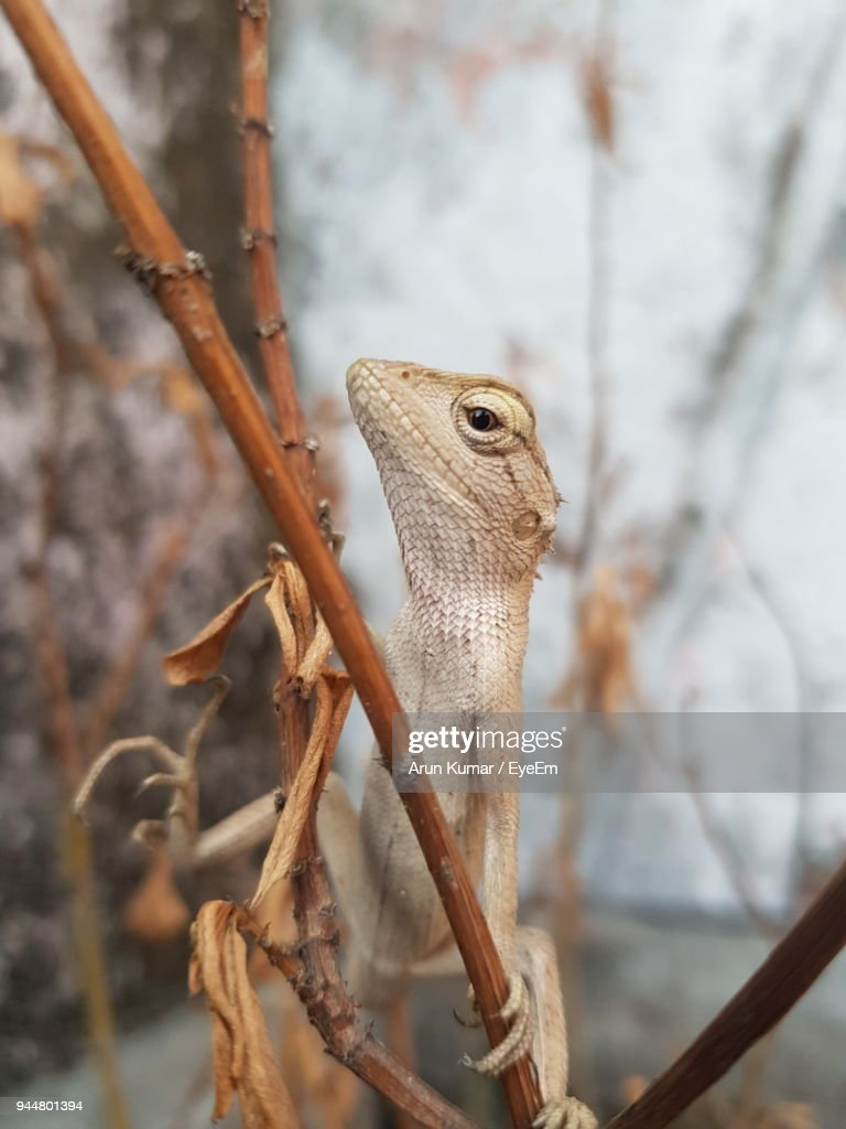 Close-Up Of Lizard On Dried Plant : Stock Photo