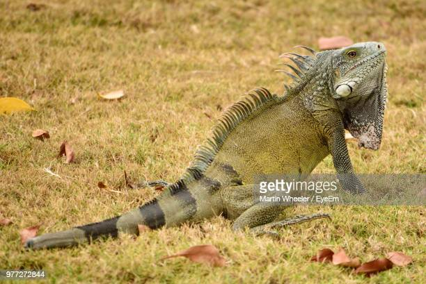 close-up of lizard on grassy field - land iguana imagens e fotografias de stock