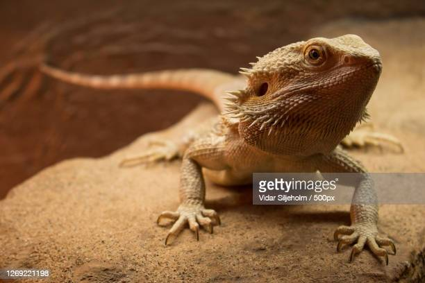 close-up of lizard on rock, oslo, norway - bearded dragon stock pictures, royalty-free photos & images