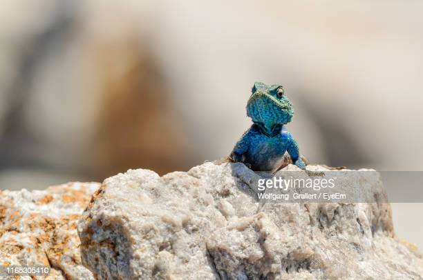 close-up of lizard on rock - lizard stock pictures, royalty-free photos & images