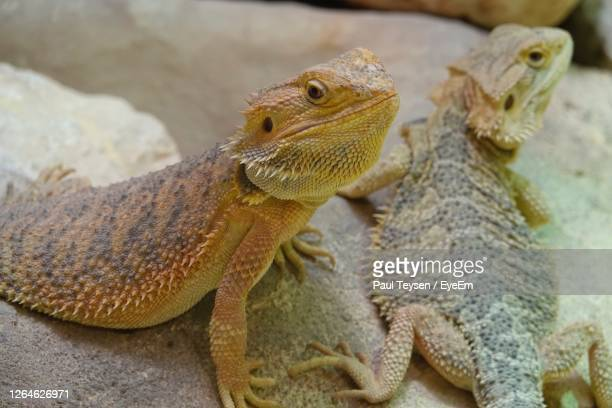 close-up of lizard on rock - bearded dragon stock pictures, royalty-free photos & images