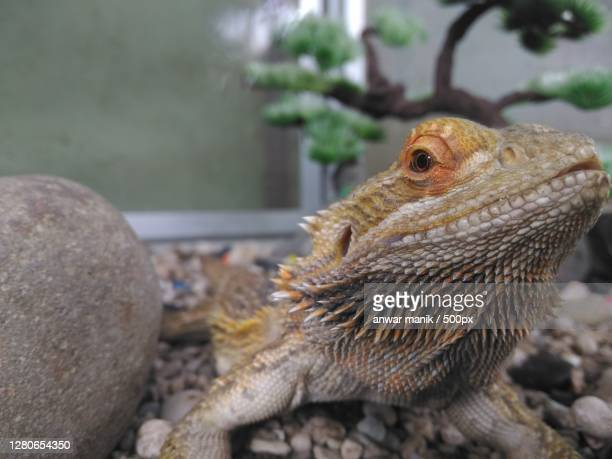 close-up of lizard on rock,indonesia - bearded dragon stock pictures, royalty-free photos & images